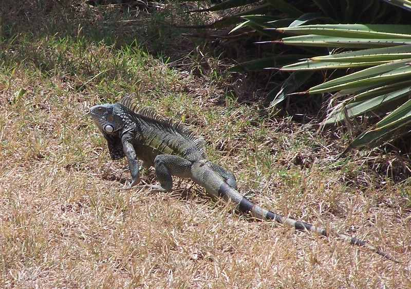 Iguana in the front yard.